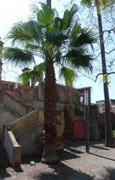 Exemplar de palmera mexicana al jardí de Can Modolell.