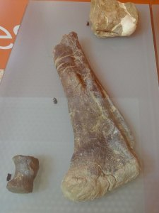 Fèmur i vèrtebres de titanosaure. Rèpliques.