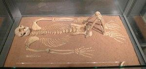 Esquelet de macaco trobat a Les Colomines.